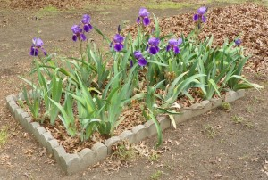 Irises and leaves