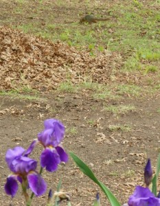 Irises and squirrel