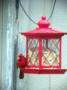 cardinal at feeder 01