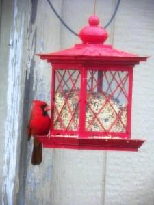 cardinal at feeder 02
