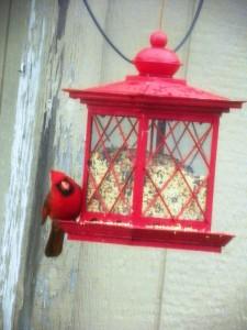 cardinal at feeder 03